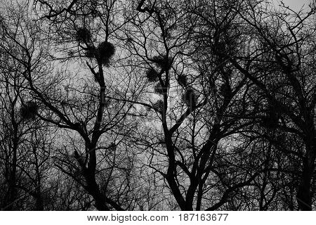 Background, texture, dark trees with nests. A graphic representation of trees