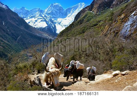 Caravan of yaks carrying load on the way to Gokyo Lakes in Himalayan Mountains Nepal.