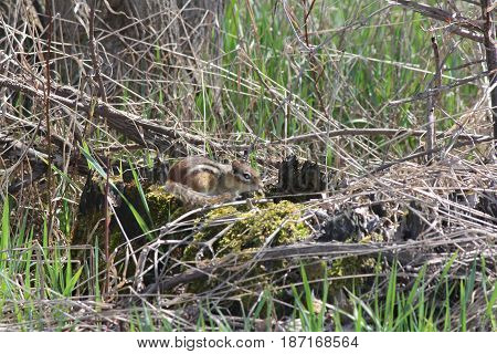 Eastern Chipmunk on moss covered stump a side of road.