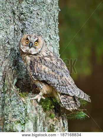 Long-eared owl siting on the tree - Asio otus otus