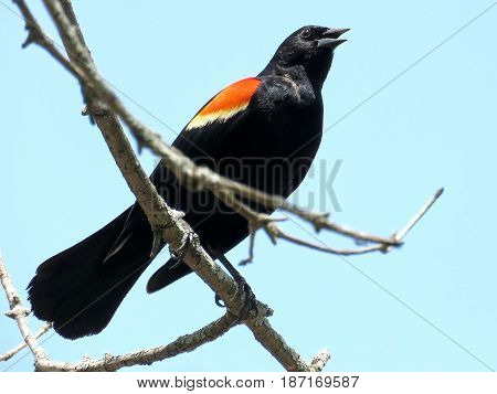 Red-winged Blackbird in Thornhill Canada May 18 2017
