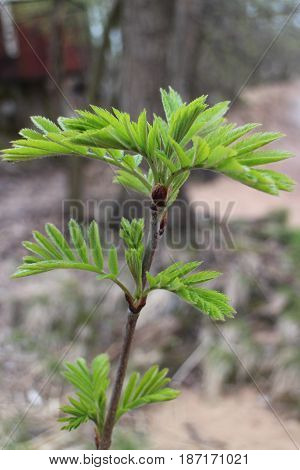 Young fresh leaves of mountain ash gray forest early spring background