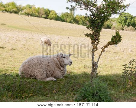 A Sheep Resting In The Field Outside In The Uk Up Close In Essex Of Constable Country Of The Uk Whit