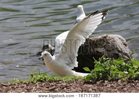 Ring-billed gull spreading it's wings while standing on the shore of a pond.