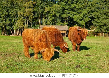 Cows red Highland cattle (Scottish Gaelic) young bull and two cows on the pasture