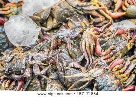 Fresh raw sea flower crab (portunus pelagicus) premium grade display for sale at seafood market