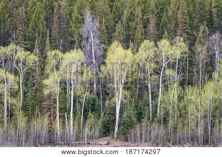 aspen grove and spruce in early spring  in Rocky Mountains, Colorado at Willow Creek Pass