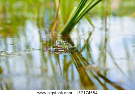 Edible Frog (Pelophylax kl. esculentus) as background