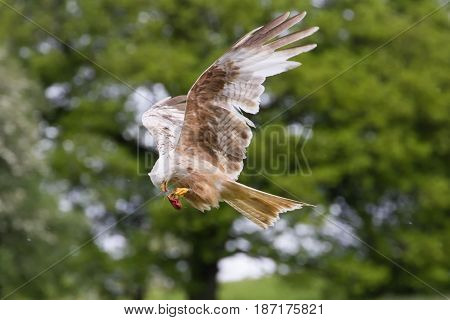 Beautiful Red Kite (milvus Milvus) In Flight