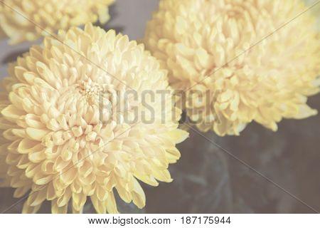 beautiful flower yellow chrysanthemum. closeup