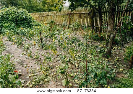 Consequences Of Hail In Vegetable Garden. Broken Vegetables Peppers And Apples Fell From Tree During A Severe Thunderstorm With Hail.