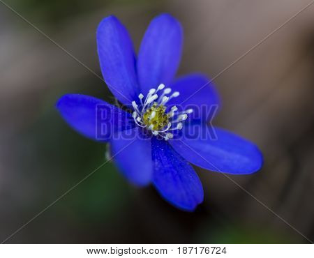 Macro shot of hepatica nobilis in forest meadow