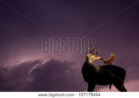 Fallow deer stag cooling off in a  thunderstorm