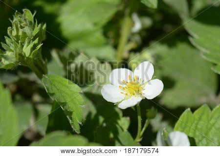 Beautiful first strawberry flowers on strawberry plant