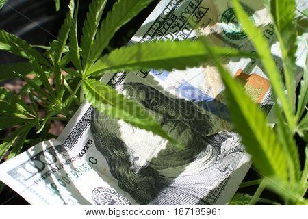 Marijuana Plant With Money Close Up High Quality