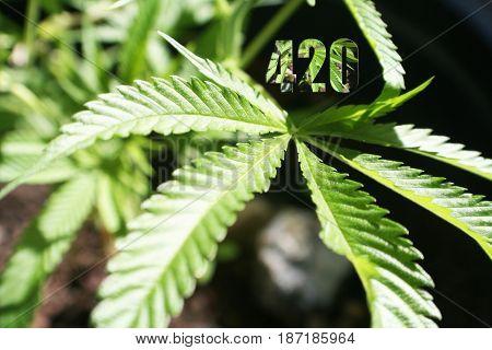 Marijuana Leaf With 420 Logo High Quality