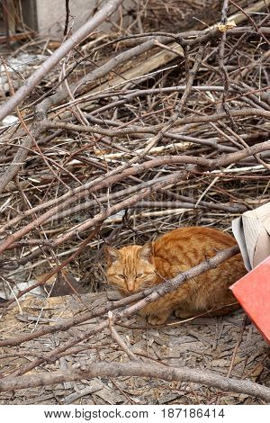 Homeless, Orange Stray Cat Lying In An Abandoned Backyard
