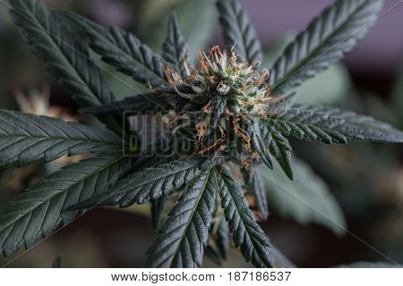 Female cannabis marijuana flower fire alien strain