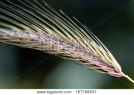 Spikes of the annual grass Dasypyrum villosum a wild form of crop and a possible alternative form of food.