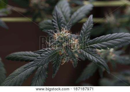 Female cannabis marijuana flower macro close up