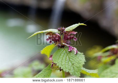 Flower of a balm leaved archangel (Lamium orvala) a wild flower of the Mediterranean and Eastern Europe.