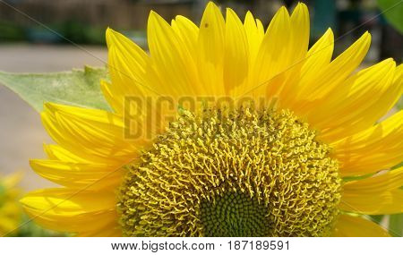 Close up sunflower blooming in garden. Can be use for background natural concept.
