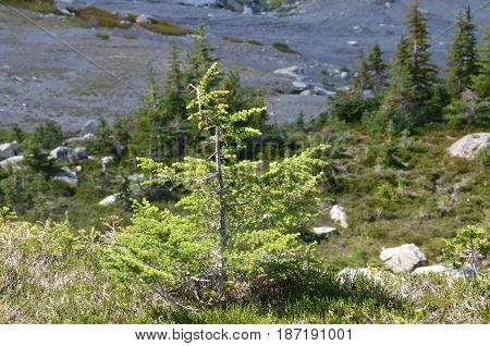 Small mountain side evergreen shrub tree at Whistler Mountain