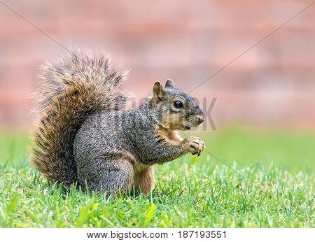 Eastern fox squirrel (Sciurus niger) in the garden