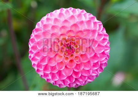pinkdahlia jowey winnie closeup macro with a green background