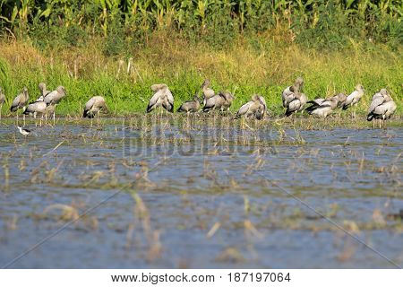 Image of flocks asian openbill stork. Wild Animals. Birds