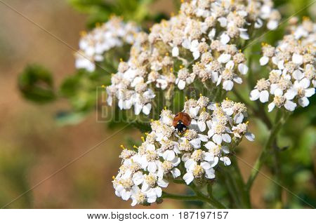 One lady bug (Coccinellidae) on Daucus carota whose common names include wild carrot bird's nest bishop's lace and Queen Anne's lace