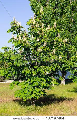 Blossoming chestnut tree (Aesculus hippocastanum) in park
