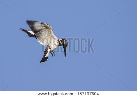 Image of Pied Kingfisher (Ceryle rudis) male hovering in flight on sky. Wild Animals.