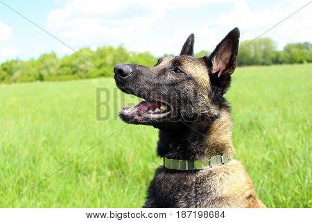 Dog shepherd belgian malinois face profile attentive