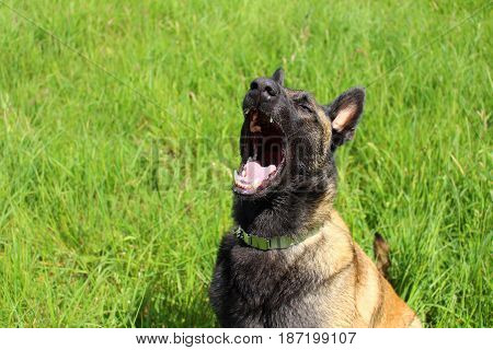 Belgian shepherd dog Malinois who opens the mouth because he is tired