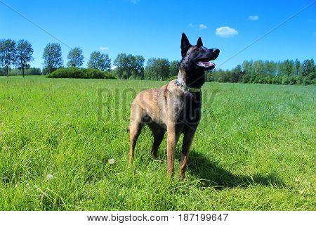 Belgian shepherd dog standing position standing guard