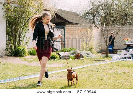 Gomel, Belarus - April 29, 2017: Funny Dog Red Brown Miniature Pinscher Pincher Min Pin Zwergpinscher Running Near Woman At Summer Season.