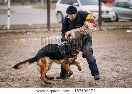 Gomel, Belarus - February 20, 2016: German shepherd dog training. Biting dog. Alsatian Wolf Dog. Deutscher, dog