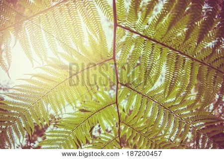 Natural background. Unravelling fern frond closeup. Thailand chiangmai doiinthanon