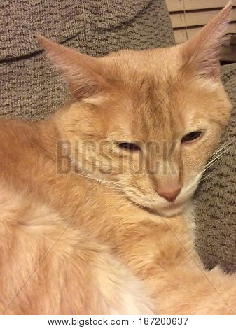Up close image of orange and white striped tabby cat sitting on a sofa looking down
