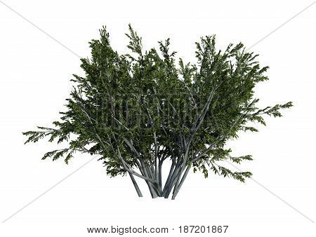 3D rendering of a creosote bush or Larrea tridentata or greasewood or chaparral or gobernadora isolated on white background