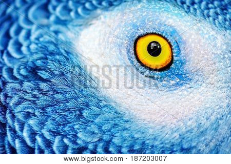 Closeup photo of a yellow eye of the parrot with bright blue feathers, beautiful natural background, exotic birds birdwatching, wildlife safari, macro poster