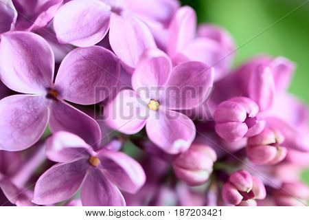 Beautiful purple fresh young flowers on the branches of a lilac bush