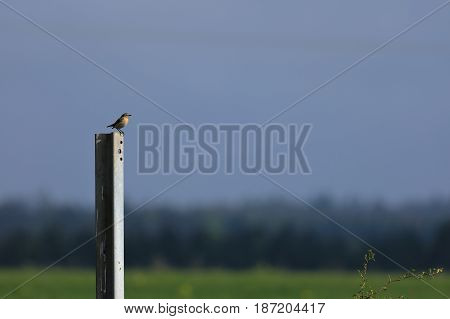 A Brown throated endangered songbird in Germany