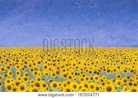 Large sunflower field with jungle backgorund natural landscape backgorund