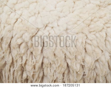 Close up wool sheep for texture and background.
