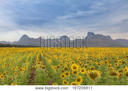 Full bloom sunflower field with mountain background natural landscape background