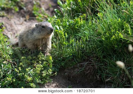 alpine young marmot poster