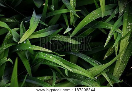 Close-up Shot Of Dense Grassy Stems With Dew Drops. Macro Shot Of Wet Grass As Background Image For