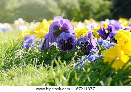 Beautiful pansies on the flowerbed in the garden. Sunny spring background.